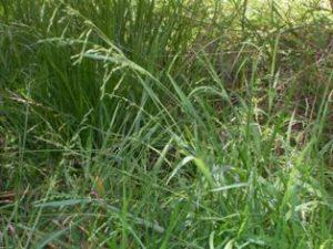 Ehrharta erecta beat this weed